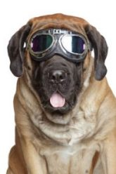 safety goggles on dog advertising vision insurance in Scranton, PA